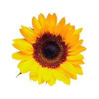 Sunflower-200x200.png